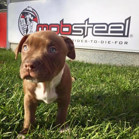 Mobsteel Shop Puppy Tig